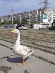 В днепровском трамвае катался пернатый пассажир